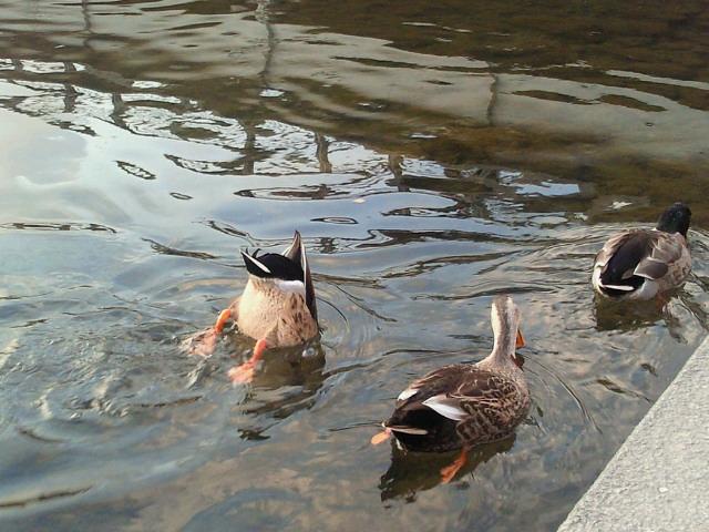 鴨川のマガモたち