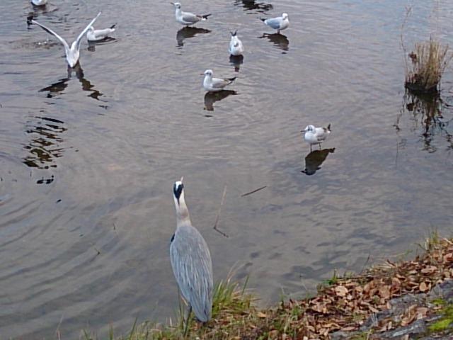 鴨川の鳥たち(<br />  ⌒‐⌒)
