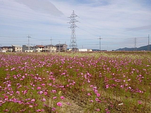 コスモス畑